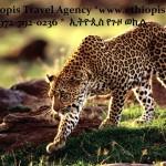 Random image: EthiopisTigerAd1
