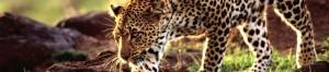 cropped-EthiopisTigerAd1.jpg