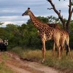 Random image: africa_south_africa_giraffes_-1_2