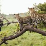 Random image: animal_leopards_safari_is000014763964