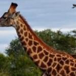 Random image: cropped-africa_south_africa_giraffes_-1_2.jpg