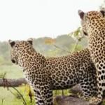 Random image: cropped-animal_leopards_safari_is000014763964.jpg