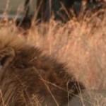 Random image: cropped-tintswalo_safari_lodge_-_lion_0.jpg