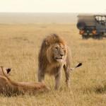 Random image: African lion couple and safari jeep
