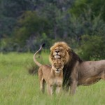Random image: lion_pair